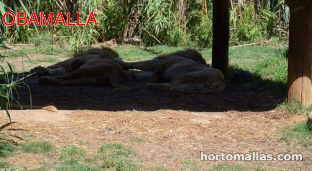 Leones descansando a la sombra de una obamalla sombra malla para animales