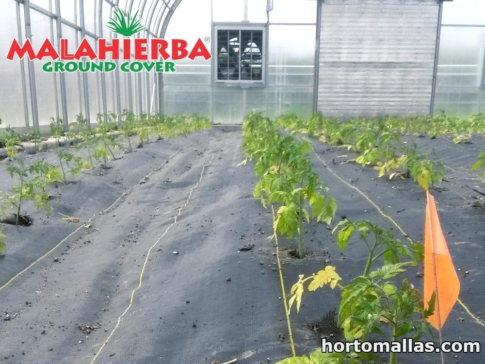 tela anti maleza en cultivos de invernavelo