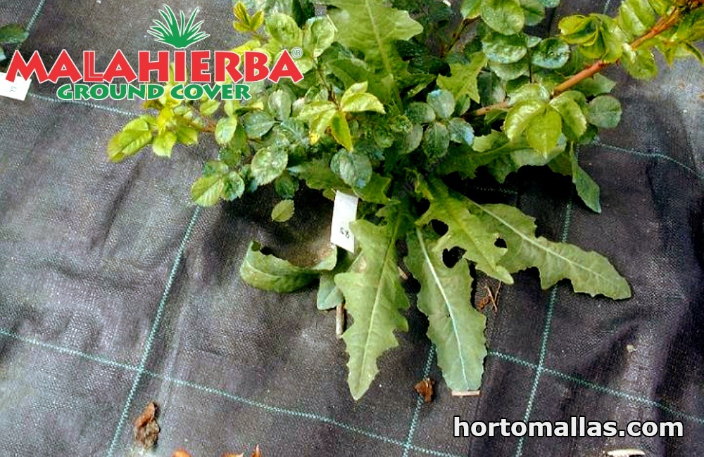 cultivos usando tela anti maleza MALA HIERBA
