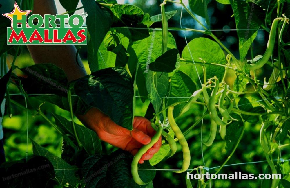 Chicharos y la rotación de cultivos.