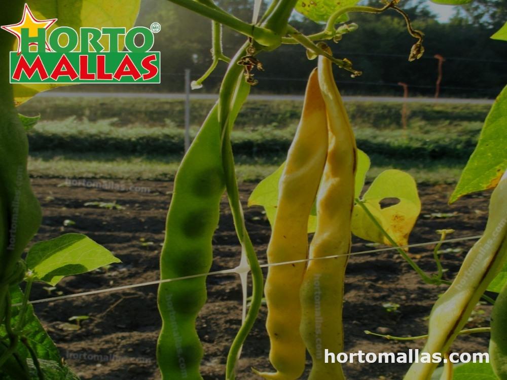 Tutoreo de planta de frijol de guía usando Hortomallas en vertical.