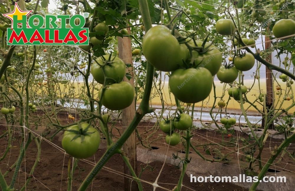 Malla espaldera HORTOMALLAS® como sistema de tutoraje en cultivo de tomate.