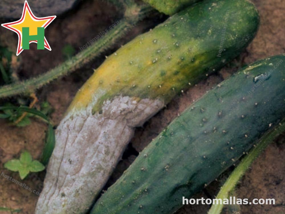 El efecto de esta enfermedad sobre las hojas de la planta.