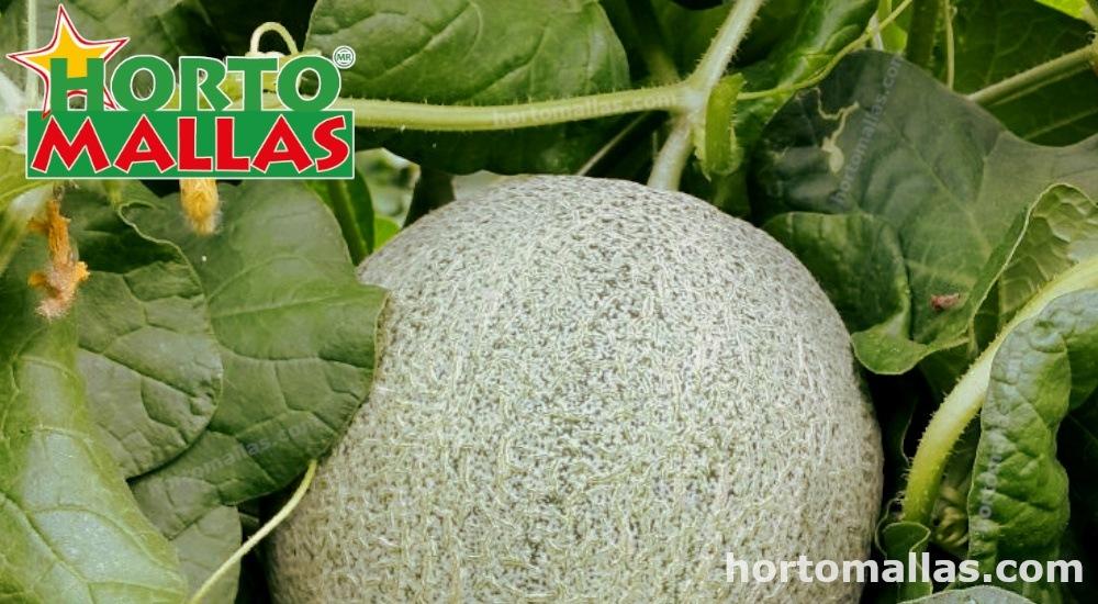 El melon en malla espaldera encuentra un mejor soporte.