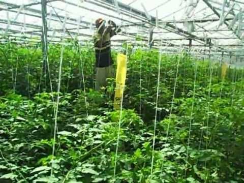 cultivo de tomate con Rafia.