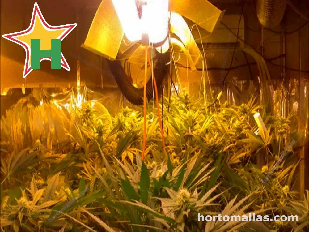 Cultivar con luces led mejora la calidad de tu cultivo