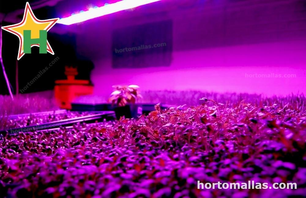 Al cultivar con las luces led el área del cultivo va necesitar ser mantenido por mucho tiempo