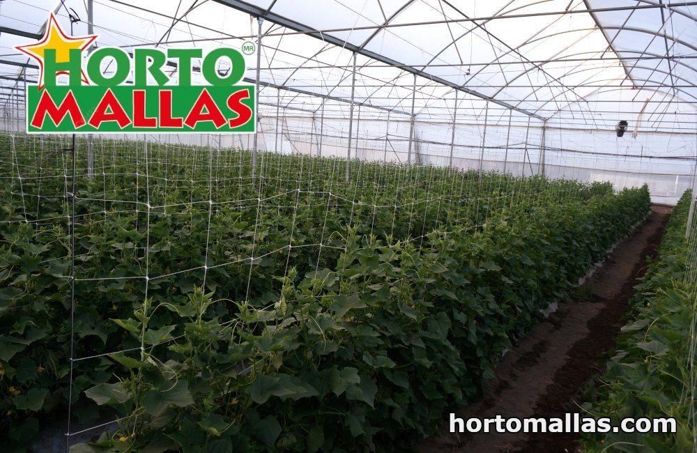 Tutoreo de planta de frijol de guía usando Hortomallas en vertical después de un ciclo de pepino, es el perfecto ejemplo de rotación de cultivos.