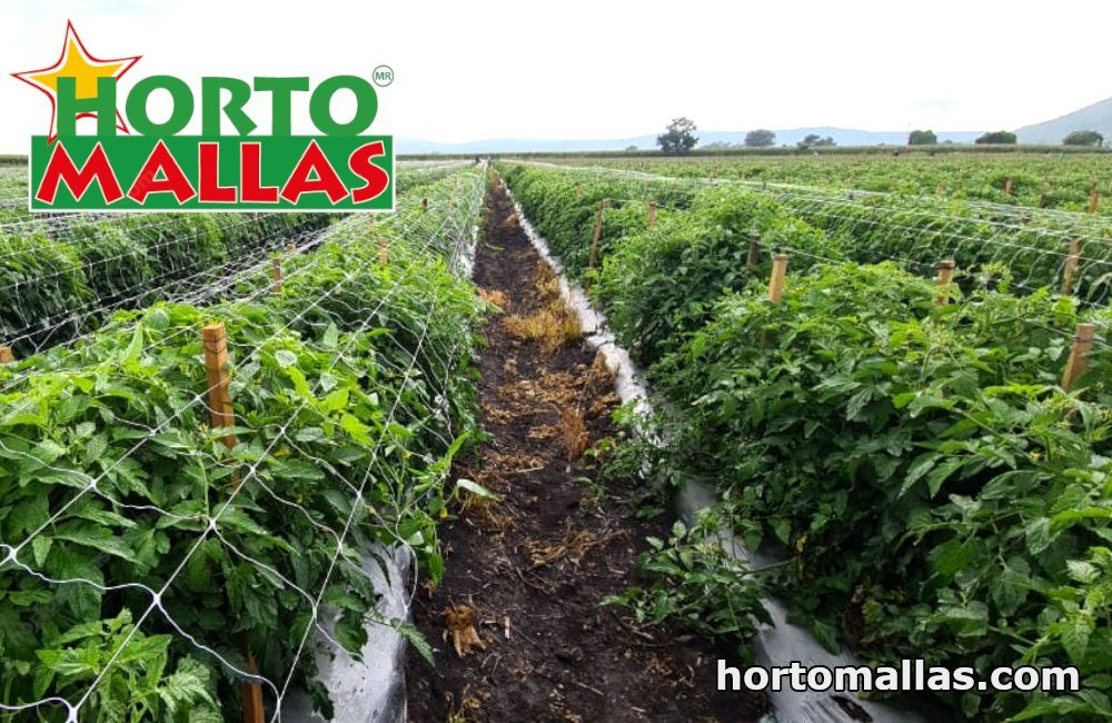 A tomato trellis made with HORTOMALLAS® tomato netting allows for better plant health control and a reduction in costs.
