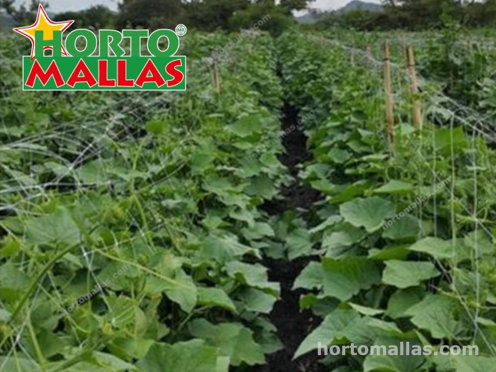 Cultivo de melón con malla tutora Hortomallas