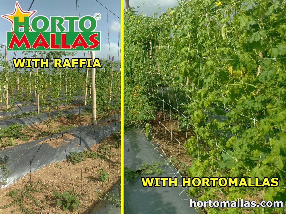 One can appreciate the difference between the two methods of trellising: twine on the left and HORTOMALLAS® trellis netting on the right, which guarantees vegetables optimal plant support.