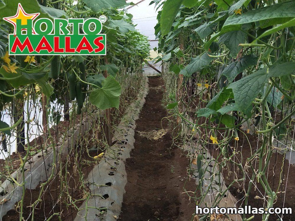 la malla para entutorar HORTOMALLAS® brinda grandes ventajas al cultivo de pepinos en invernaderos ya que reduce el contacto con las manos y por ende la posibilidad de contagios de patógenos.