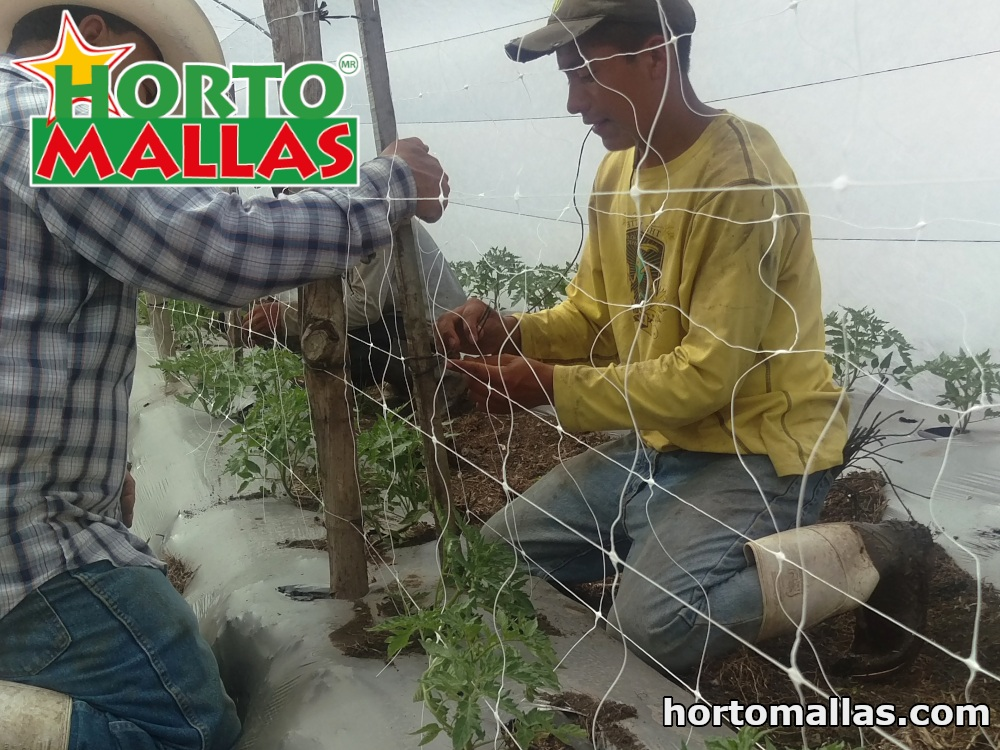 Trellising with HORTOMALLAS® plastic netting instead of traditional natural-fiber twine, has plant health and financial advantages.