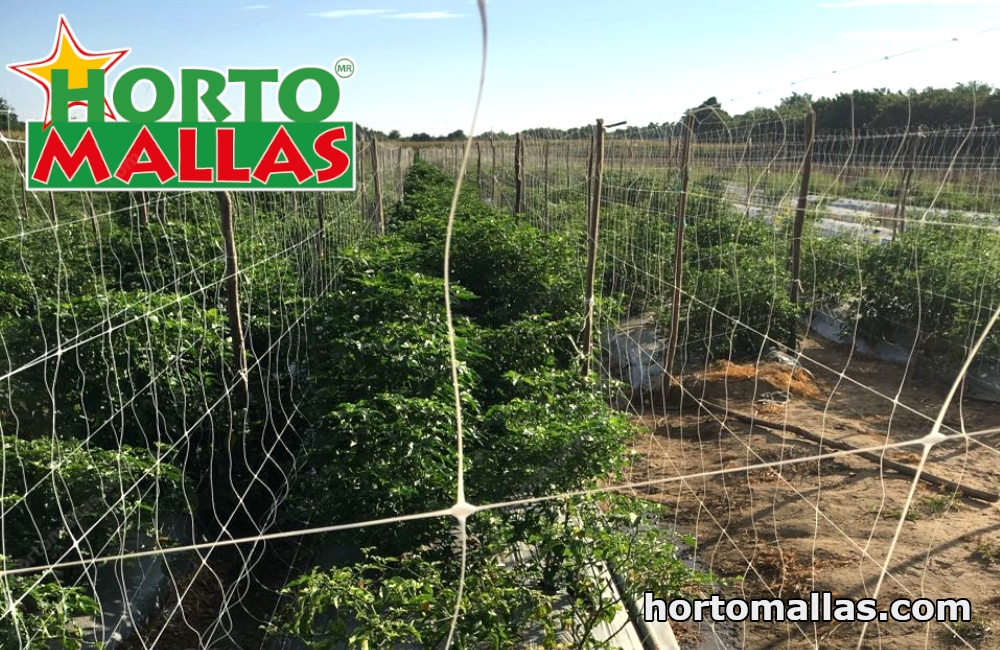The spread of disease by workers making physical contact with the plants can be reduced by installing tomato trellis netting in a double-panel configuration.
