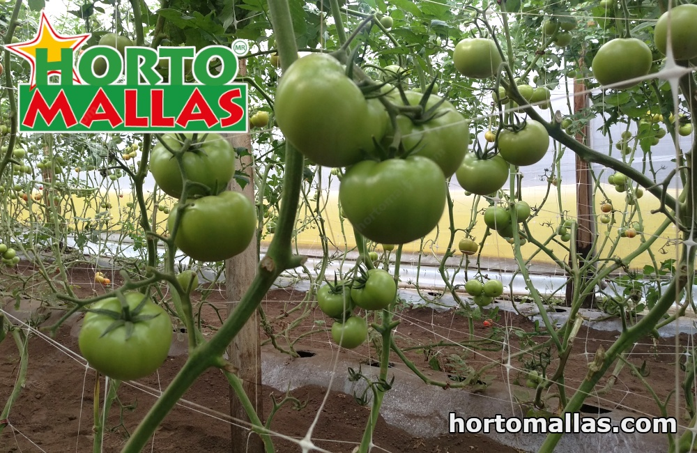 Here one can see how the bottoms of the 2 panels of the HORTOMALLAS® tomato trellis netting get tied together in order to guide the plant to the upper squares of the plastic netting.