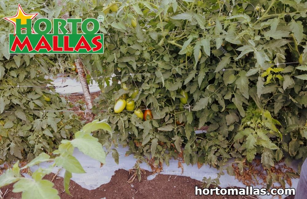enfemedades del tomate