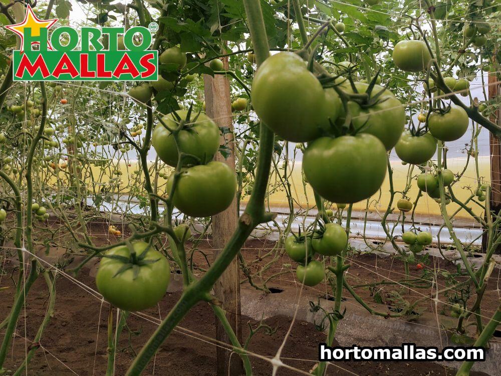 enfermedades tomate