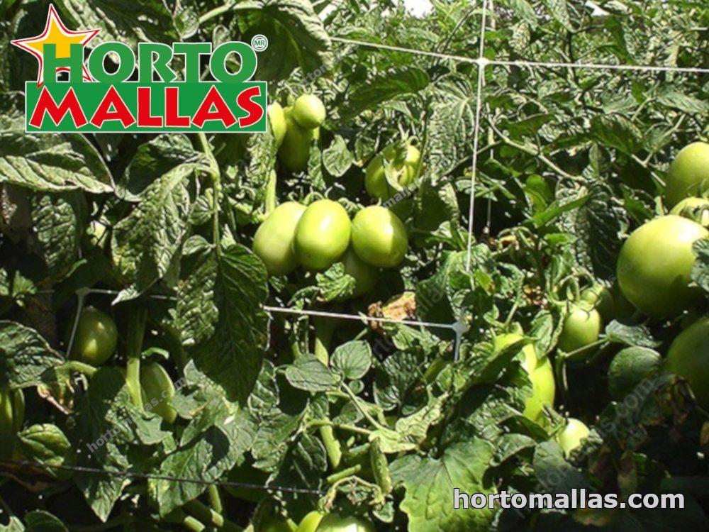 entutorado de tomates con uso de malla de entutorar HORTOMALLAS