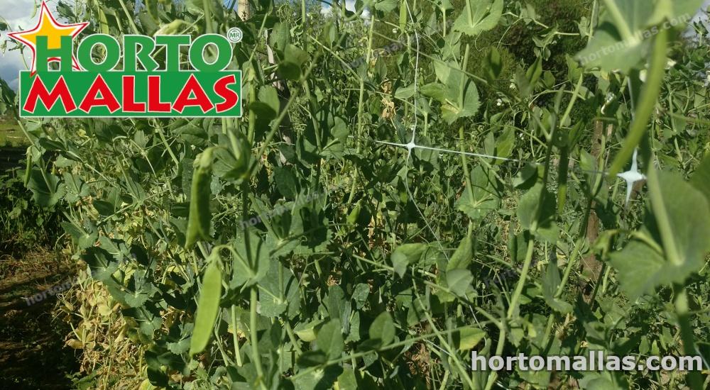 Cultivo de tomates con red plástica Hortomallas para entutorar