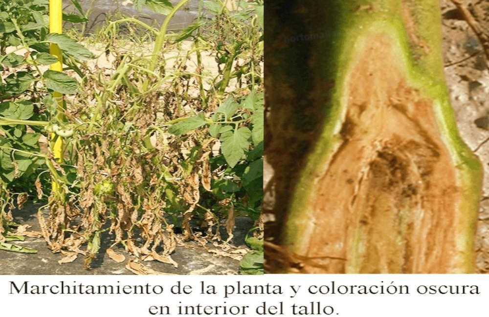 marchitamiento bacteriano tomate