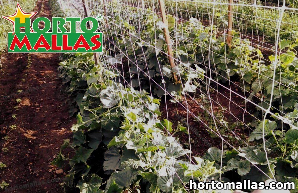 cultivo de pepino con malla espaldera