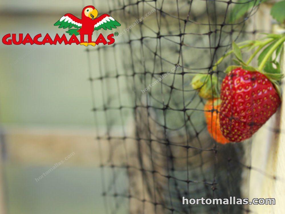 cultivo de berrys