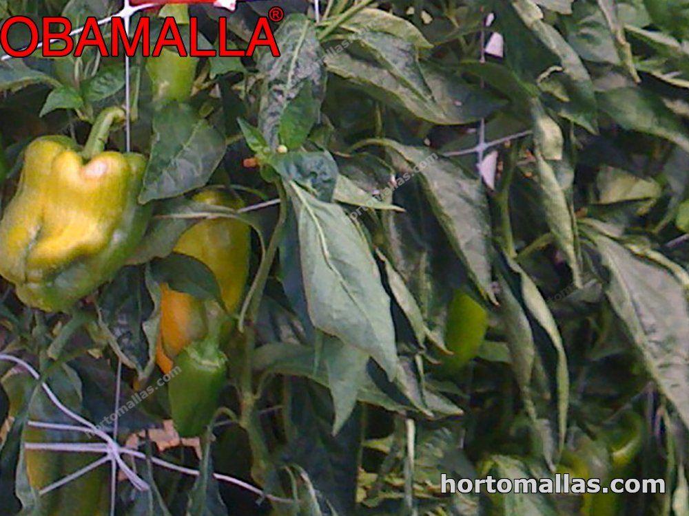 cultivo de pimiento amarillo sostenido  malla tutora