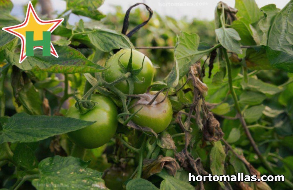 botrytis en tomates