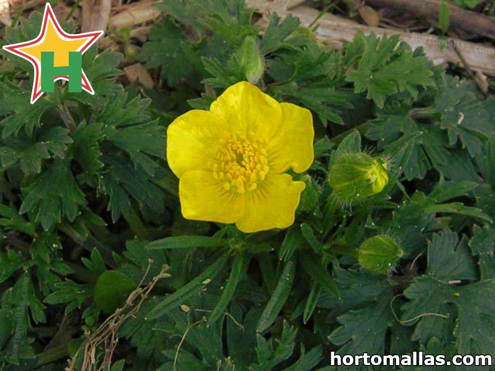flor de planta de pepino