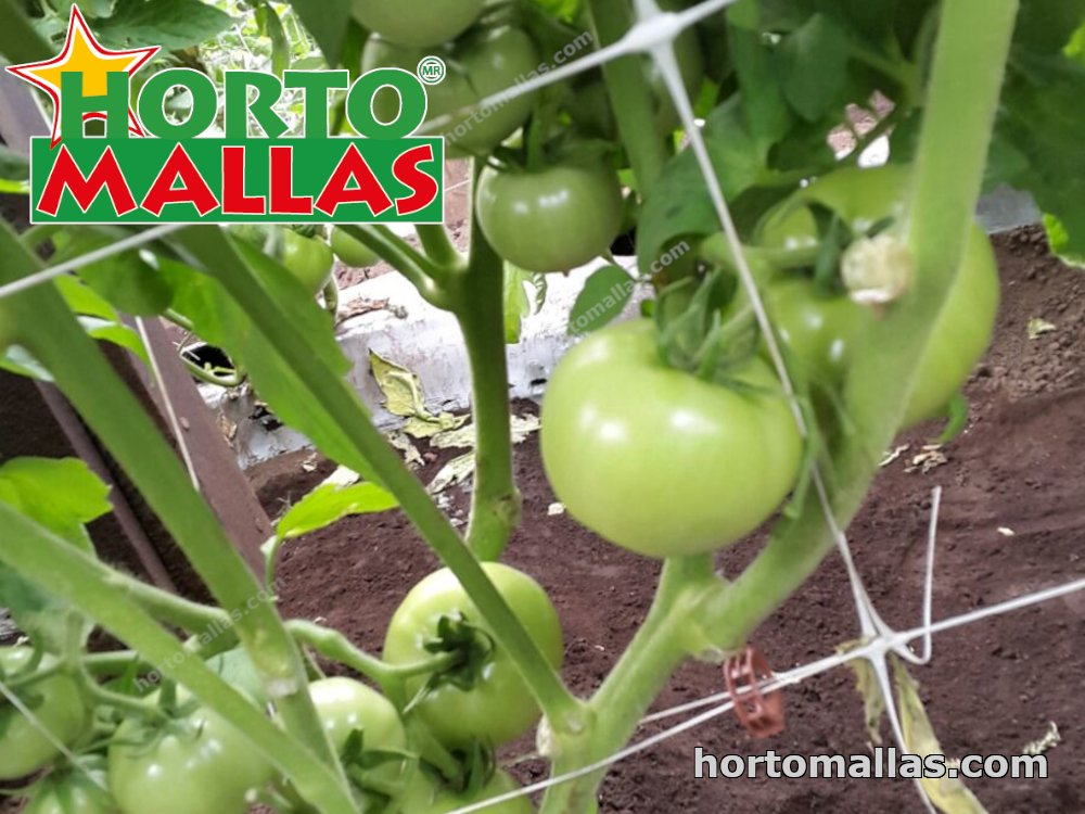 trellis net and green tomatoes