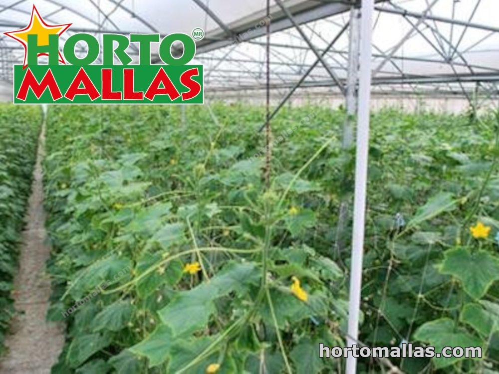 Chilli pepper crops