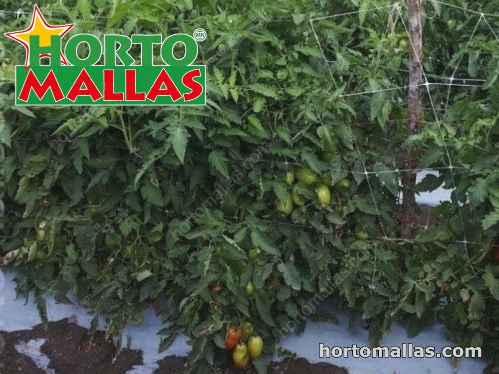 Tutoring tomato plants with trellis net