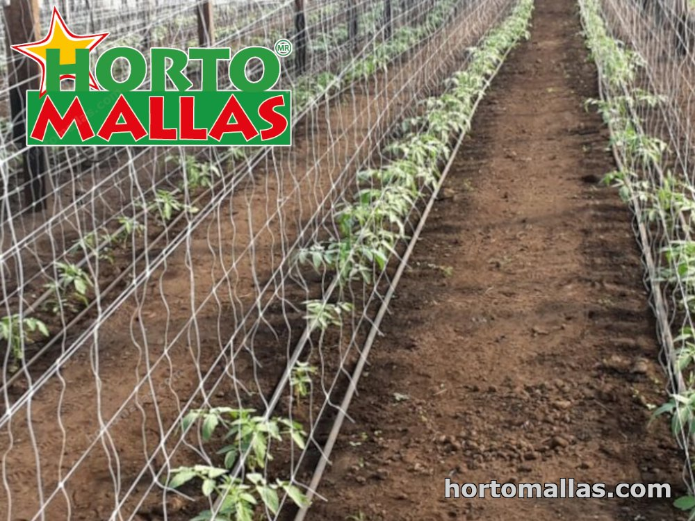 trellis support installed in field of tomatoes