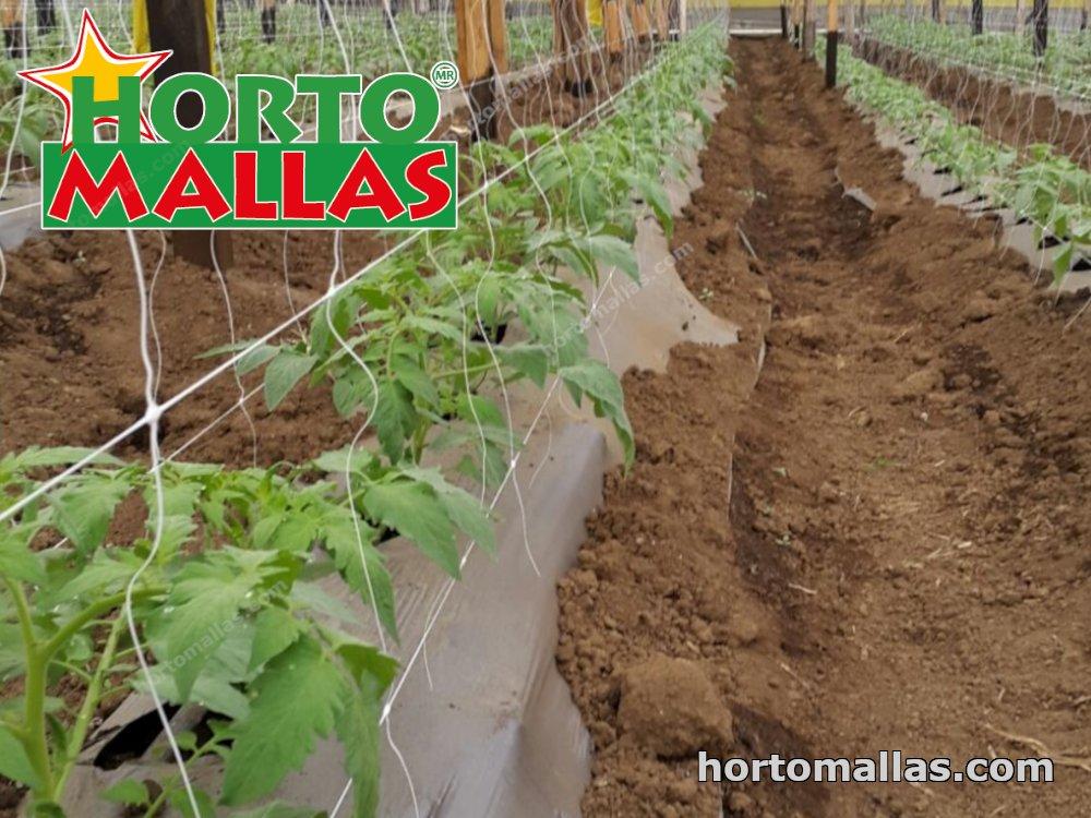 Greenhouse of tomato plants