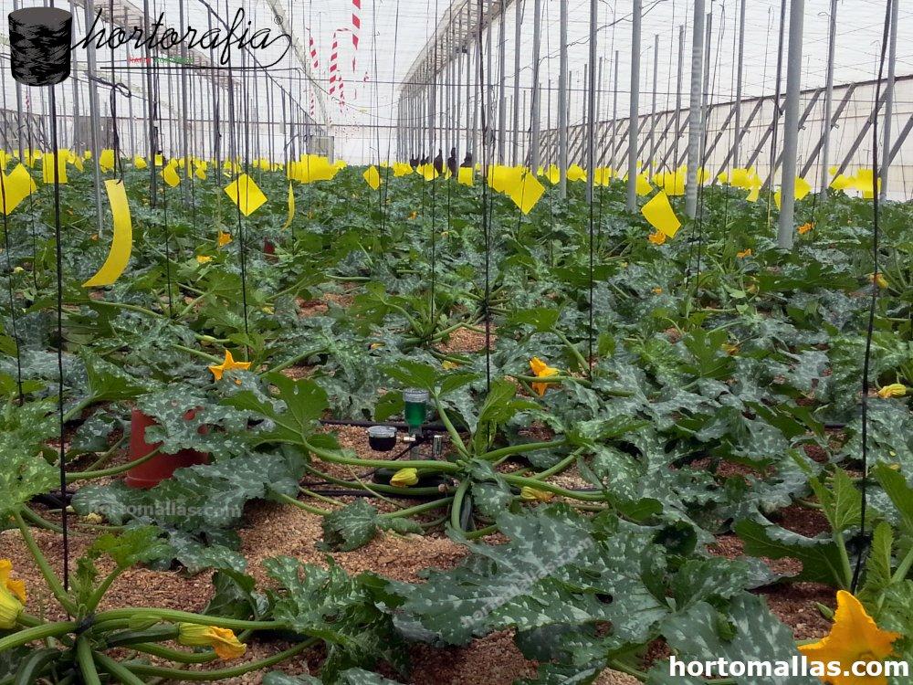 cultivo de calabacín con rafia