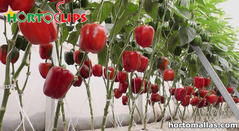 frutos de pimiento con HORTOCLIPS