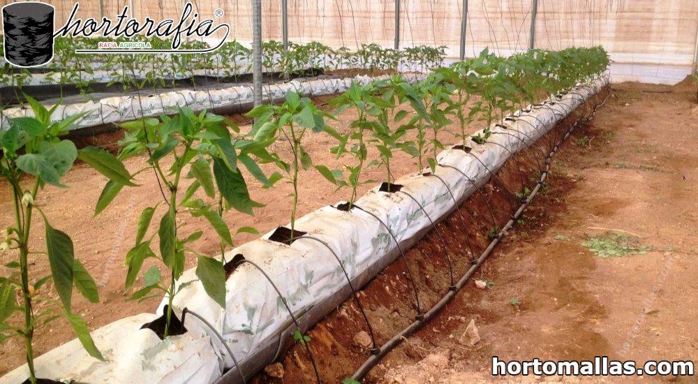 cultivo con rafia