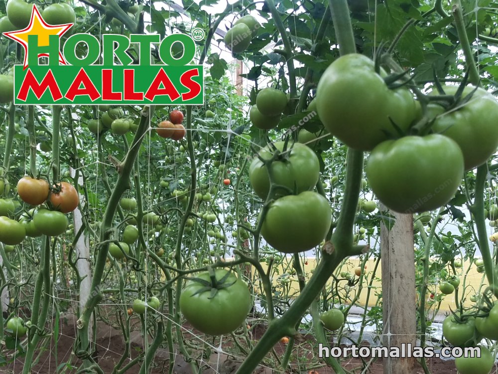 The mesh trellis is used in tunnels of forced for the cultivation of tomato