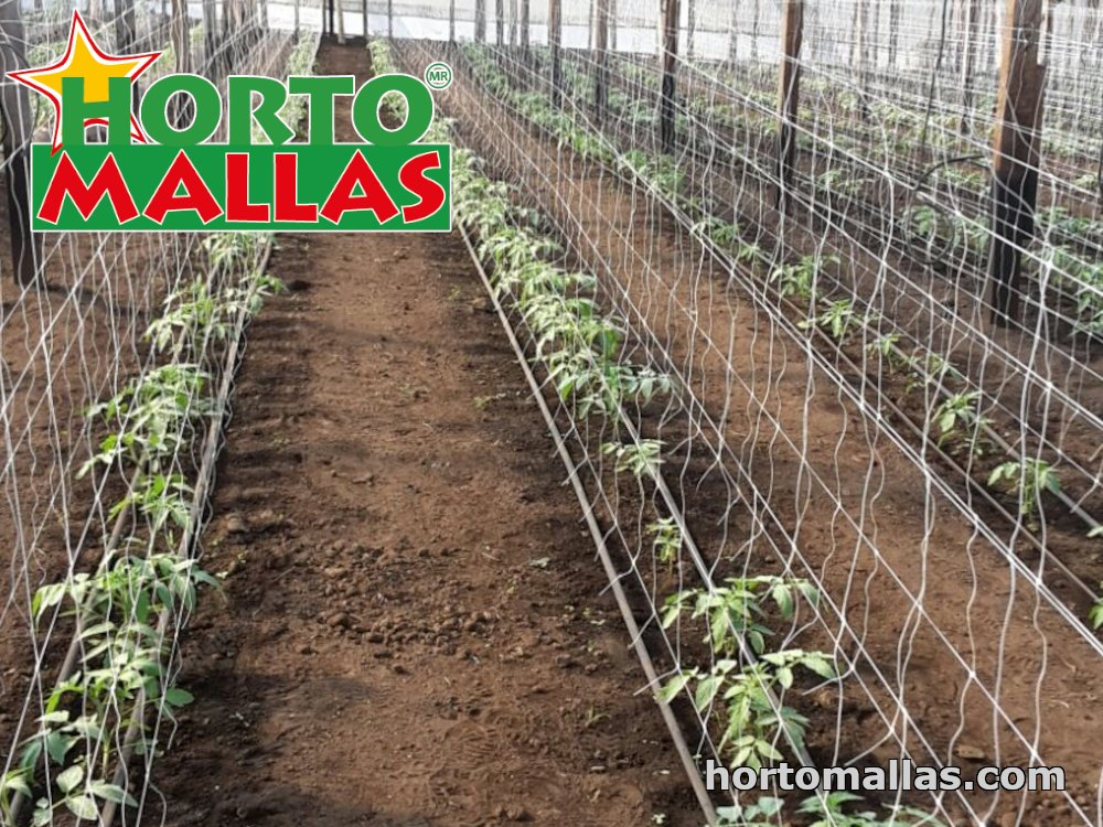 double-row tomato cultivation