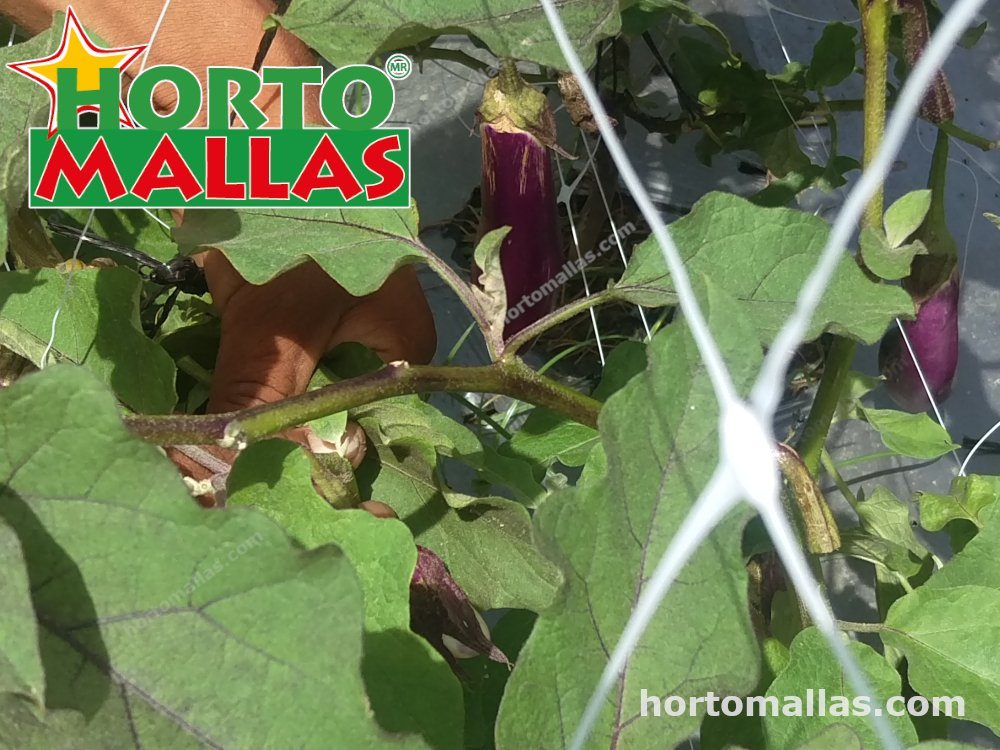 Eggplant plants with support mesh