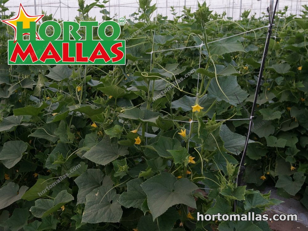 trellising net used in bell peppers