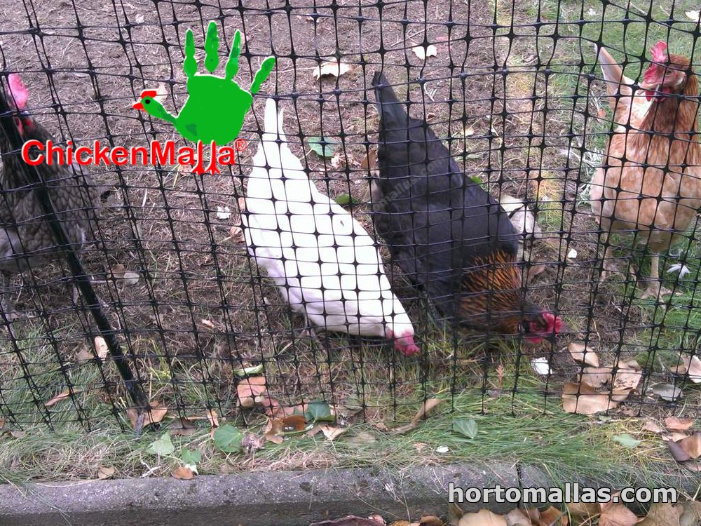 chickens protected with the chickenmalla