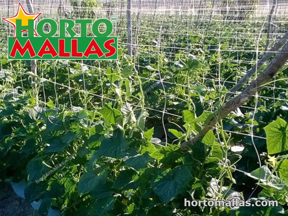 tutoring vegetables like cucumber with support netting
