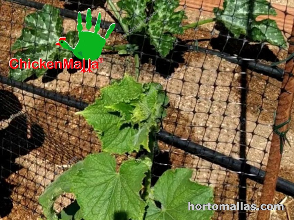 plant netting protecting lettuces against butterflies