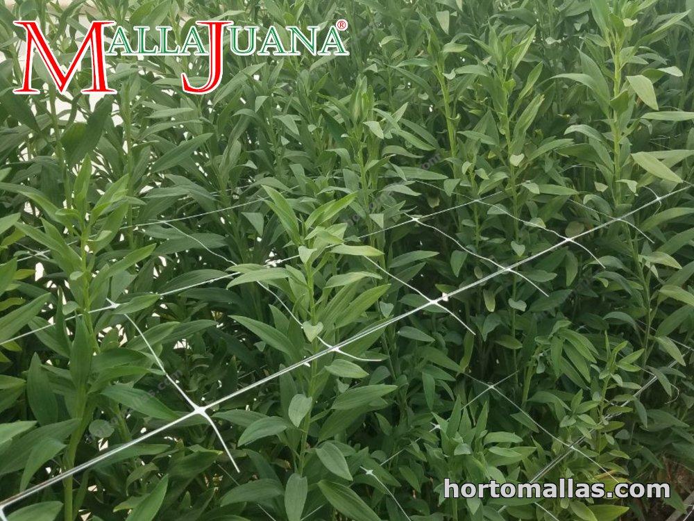Medicinal bush, supported with MALLAJUANA.