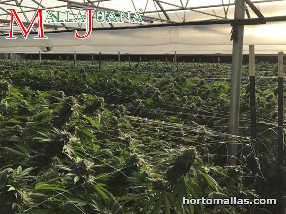 Indoor medicinal production with Mallajuana support.