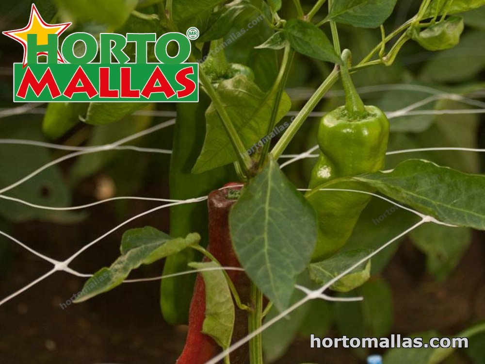 chili crops tutoring by hortomallas support net