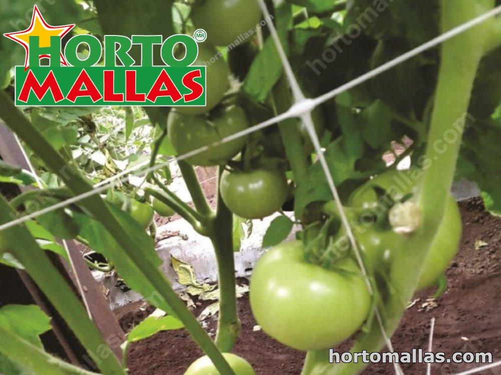 Tomato cultivation with HORTOMALLAS® nylon net