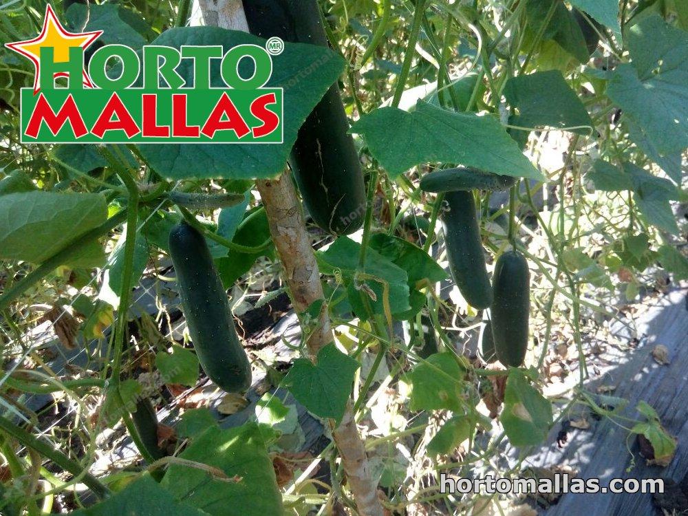 trellis with cucumbers