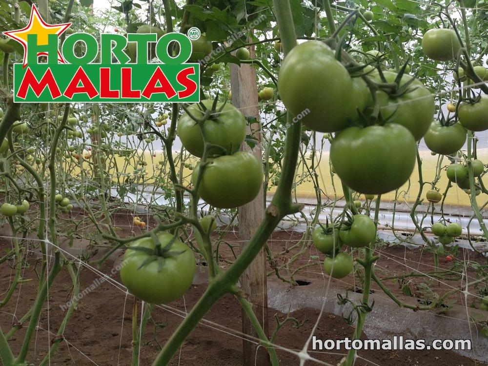tomato cropfield using hortomallas support net